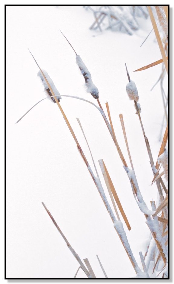 Snowy Cat Tails